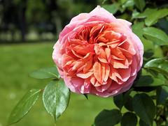 paris-150 (gabriel_flr) Tags: paris france seine ladéfense toureiffel bateaux grandearche gabrielflr gabrielflorea blueskies puteaux courbevoie macron investitureduprésident notredame rose roses rosen trandafiri trandafir blooms blumen fleures rosa