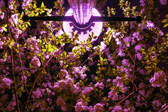 SENTINAL split (MidWorldMo) Tags: midworldmo stphilipscathedral blossom blossoms blooms splittone splittoning pink purple highlight streetlighting abstract abstractionist fineart trippy psychedelic dimethyltryptamine birmingham sonya6000 sigma30mmf14dcdn