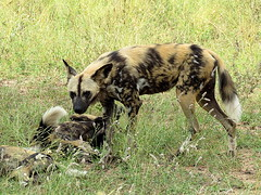 Wildehond / African Wild dog (Bruwer Burger.) Tags: wildehond african wild dog coth5