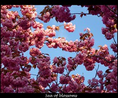 Sea of blossoms (STEHOUWER AND RECIO) Tags: blossom blossoms tree boom flowers bloemen nature natuur pov pink blue flora roze blauw sky lucht leaves bladeren leaf blad spring lente