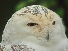 Snowy Owl (dennisgg2002) Tags: bronx zoo new york city nyc ny