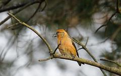 Crossbill m (Steve Balcombe) Tags: bird crossbill commoncrossbill redcrossbill loxia curvirostra male scots pine tree haddonhill exmoor nationalpark somerset uk