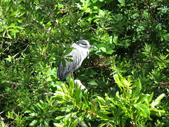 yellow crowned heron (stealth33770) Tags: largonaturepreserve largo largoflorida florida yellowcrownedheron bird