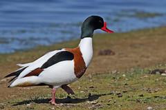 Shelduck - Tadorna tadorna UB2A6996 (paulcoltman) Tags: shelduck large red beak tadorna