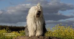 (dewollewei) Tags: oldenglishsheepdog oldenglishsheepdogs old english sheepdog sheepdogs oes bobtail dewollewei sophieandsarah sophieensarah sophie coleseed koolzaad spring lente flowers flower rapeseed