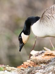 Goose (@Michael) Tags: brantacanadensis canadagoose em1ii gear minnesota olympus olympus300mmf4 places statepark whitewaterstatepark wildlife