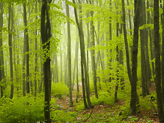 Fog in a beech forest (Andrea Zecchini) Tags: forest wood fog beech mistery
