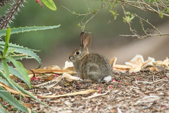 Wild Rabbit (ToddLahman) Tags: rabbit wildrabbit wild sandiegozoosafaripark safaripark canon7dmkii canon canon100400 closeup beautiful