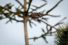 In Flight (RGaenssler) Tags: heckenbraunelle sperlingsvögel singvögel vögel braunellengattung wirbeltiere braunellenfamilie tiere floraundfauna accenteurmouchet aves dunnock passeri passeriformes prunella prunellamodularis prunellidae