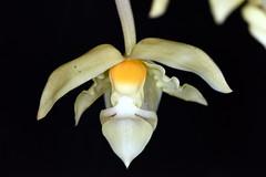Stanhopea wardii 'var Aurea  #1 (species orchids) Tags: stanhopeawardiivaraurea species orchids plants botanical