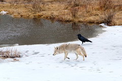 spring feeding (p.l.dove) Tags: coyote dog mammal wildlife trout bird raven scavenging bog pond water spring snow yellowstonenationalpark wyoming fujifilmxt2 xf100400mmf4556rlmoiswr