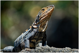 Black Spineytailed Iguana.