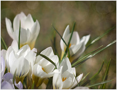 (melolou) Tags: nature crocus flowers spring white