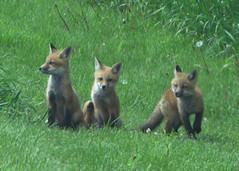 Foxes (deu49097) Tags: foxes