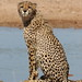 Cheetah, Acinonyx jubatus, at Kgalagadi Transfrontier Park, Northern Cape, South Africa