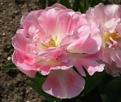 Tulipa 'Angelique' (Wolfgang Bazer) Tags: tulpe tulpen tulip tulips tulipa angelique double late gefülltblütige späte