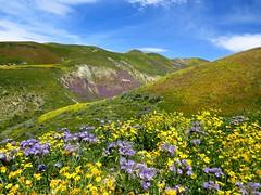 carrizo plain wildflowers 2017 (8) (gskipperii) Tags: wildflowers flowers color yellow purple blueskies landscape scenic carrizoplain nationalmonument outdoors nature view carpets hill