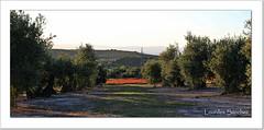 Amapolas entre olivos (Lourdes S.C.) Tags: paisaje olivos olivares campo campodeamapolas provinciadejaén