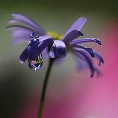 Dessus...Dessous... (Callie-02) Tags: jardin extérieur couleurs bokeh macro profondeurdechamp canon violet mauve fleur gouttes drops