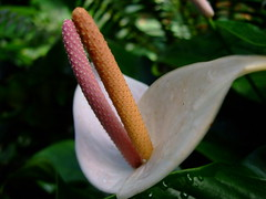 Anthurium (yewchan) Tags: flower flowers garden gardening blooms blossoms nature beauty beautiful colours colors flora vibrant lovely closeup anthurium anthuriums tailflower flamingoflower laceflower