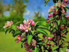 Meg's Apple tree (JulieK (enjoying Spring in Co. Wexford)) Tags: hss appletree 100flowers2017 sliderssunday pink flower bloom garden topazglow postprocessed colourful