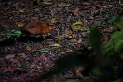 1JAC3657_sg_night_safari_170403 (_husky_) Tags: fujixt1 mandai nightsafari singapore