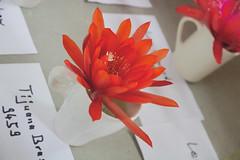 _DSC0056.ppm (nitedojo) Tags: nitedojo kakteenhaage openday epiphyllum