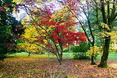 westonbirt arboretum - autumn colors (vinothgurusamy) Tags: westonbirt arboretum autumn colors d810 nikon 2485