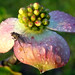 fly on dew on new pink dogwood, ours