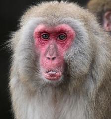 japanese macaque artis JN6A5175 (joankok) Tags: macaque makaak japansemakaak japanesemacaque macacafuscata macaca artis aap monkey primate primaat asia azie japan