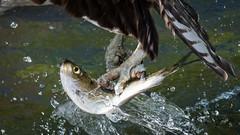 Death Grip (Vic Zigmont) Tags: osprey talons ospreywithfish ospreywithprey raptor