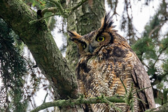 Season of the Owl. (ricmcarthur) Tags: gho greathornedowl owl bubovirginianus ricmcarthur rickmcarthur rondeauric charingcross ontario canada ca