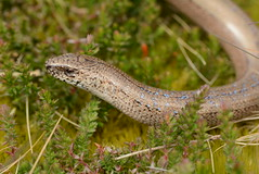 blue-spotted slowworm (Anguis fragilis) (willjatkins) Tags: lizard lizards lizardsofeurope leglesslizard anguisfragilis anguis slowworm bluespottedslowworm unusualwildlife ukwildlife ukreptilesandamphibians ukamphibiansandreptiles ukreptiles uklizards britishwildlife britishamphibiansandreptiles britishreptilesandamphibians britishreptiles britishlizards dorsetwildlife dorsetreptiles dorsetlizards purbeckwildlife purbeckreptiles purbecklizards closeupwildlife closeup macro macrowildlife nikond7100 sigma105mm heathlandwildlife heathlandreptiles
