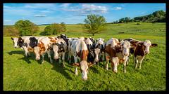 Campagne ardennaise (Comète78) Tags: argonne ardennes campagne vache ardenne campain vaches parc nature natural troupeau près prè champs champ lait milk ciel bleu vert photographie photography paysage paysages rouge blanc noir sky photo boeuf boeufs