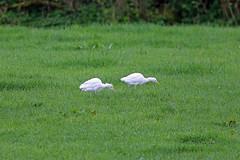Western Cattle Egret, Leighton Moss, Lancashire, England (Terathopius) Tags: westerncattleegret nigelvoaden leightonmoss lancashire england unitedkingdom uk greatbritain gb bubulcusibis