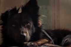 The eyes that pierce (Jon.the.canadian) Tags: puppy aniaml dog cute aw relaxed portrait close up eyes shimmering schipperke dogs