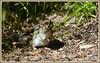 <><><> Spring Chipmunk Chronicles - I. <><><> (Wolverine09J ~ 1.5 Million Views) Tags: eaglelakeandeastmanncmay13 wildlife easternchipmunk smallmammal fauna springtime naturecenter habitat minnesota nativespecies naturespotofgoldlevel1 addictedtonature naturescreations