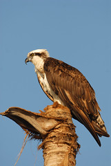 Osprey, The Fish Eagle (rdodson76) Tags: pandionhaliaetus osprey fisheagle seahawk bird avian animal nature wildlife habitat florida one single daylight
