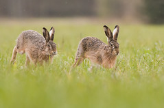 Running Brown Hare (Wouter's Wildlife Photography) Tags: brownhare lepuseuropaeus animal mammal rodent nature naturephotography wildlife wildlifephotography hare europeanbrownhare billund running