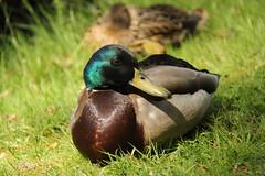 duck (eend) (ToJoLa) Tags: canon canoneos60d spring lente colours kleuren bloemen dieren tulp eend kasteeltuin park garden