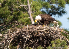 dinner time (Brian M Hale) Tags: baldeagle bald eagle hatchling babies feeding nest nesting outside outdoors wild nature wilderness newengland new england ma mass massachusetts sterling w west boylston westboylston bird watching brian hale brianhalephoto wachusett reservoir