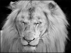 HUSANI IN BLACK AND WHITE (photogtom43) Tags: nikond3300 sigma150600lens blackandwhite bw monochrome animal cat lion feline whitelion zoo outdoor zooworld panamacitybeach florida zoophotography dslr