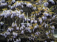 2017-04-23_Fullers04 (Ungry Young Man) Tags: brewery london plant bloom wisteria spring blauregen blueht fruehling blooming springtime chiswick west