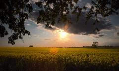Ciao (rosy.c) Tags: grazie giallo colza luce tramonto amici casa serenità