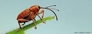 An Acorn Weevil - Curculio glandium (Curculionidae)