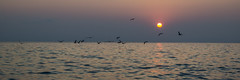 Sunset and seagulls (Maxim Shelkov) Tags: sunset nature sea bird birds water sun sky panorama waves macro animals nikon d3100 russia black sochi seaside travel trip beautiful beach evening landscape seagull seagulls