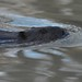 Beaver (_talon263_) Tags: beaver animal water river nature wildlife outdoor ontario canada