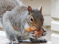 Gray Squirrel (starmist1) Tags: squirrel graysquirrel greysquirrel peanuts railing deck deckrailing post deckpost