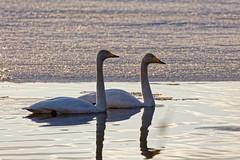 Laulujoutsenpariskunta / Whooper Swan Couple (Tuomo Lindfors) Tags: iisalmi suomi finland dxo filmpack myiisalmi lintu bird laulujoutsen whooperswan jää ice vesi water porovesi järvi lake joutsen swan