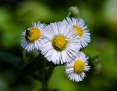 fleabane_09852-3 (McConnell Springs) Tags: mcconnellspringspark wildflowers lexingtonky lexingtonparksrecreation